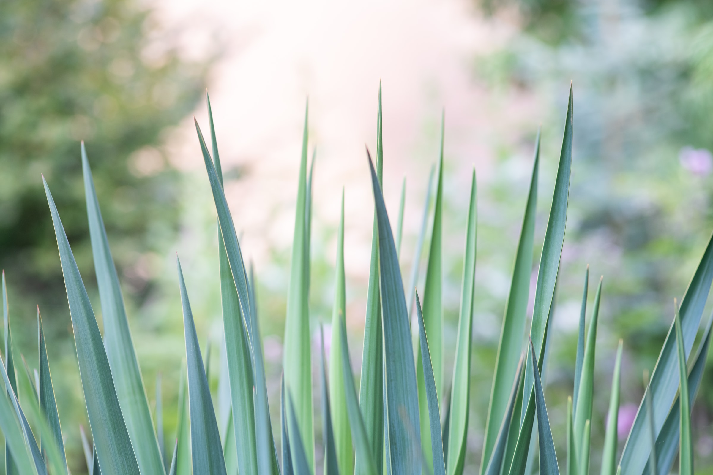Summer garden Yuccas Ben Lomond