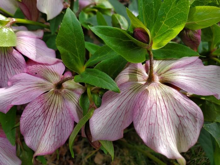 H Orientalis Lenten Roses Ben Lomond