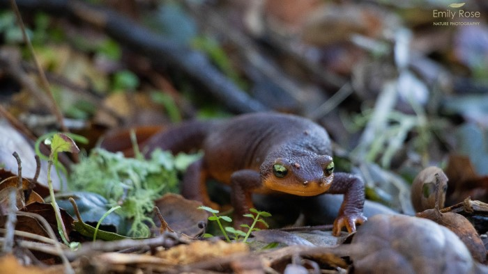 Ampibian Encounters California Newt San Lorenzo Valley