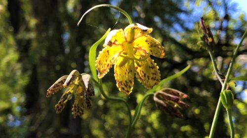 Checker Lily Wildflowers Santa Cruz Mountains