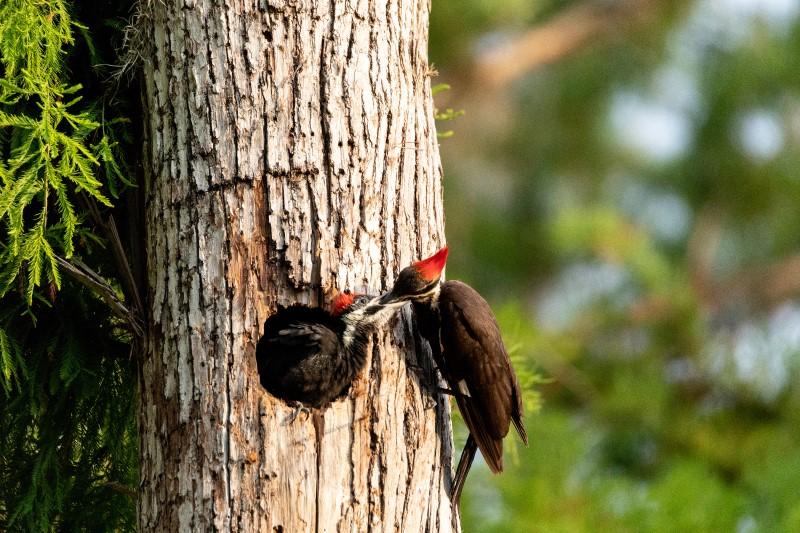Pileated Woodpeckers Big Basin Boulder Creek California